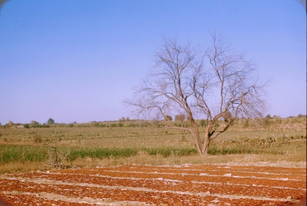 Jamoa xo'jaligida uzum quritish jarayoni (сушка винограда в колхозе)